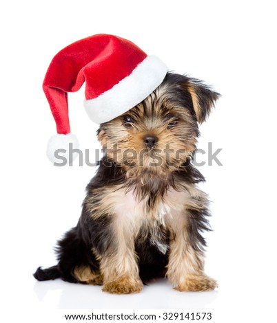 Yorkshire Terrier puppy in red santa hat looking at camera . isolated on white background