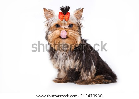 Yorkshire terrier puppy licking his chops and looking at the camera (isolated on white) - stock photo