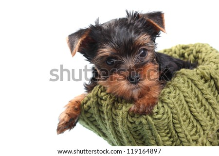 Yorkshire Terrier puppy looking out of the nest knitted