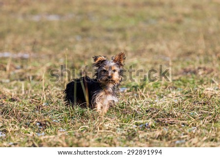 Yorkshire Terrier puppy on a meadow - stock photo