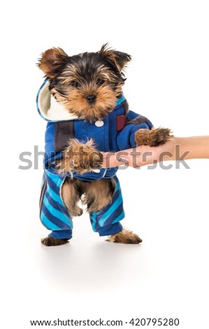 Yorkshire terrier puppy on hand of man - stock photo