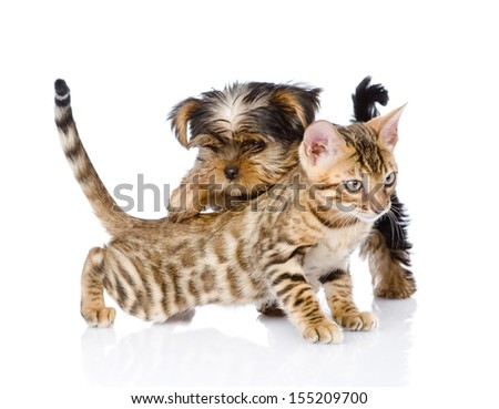 Yorkshire Terrier  puppy playing with purebred bengal kitten. isolated on white background - stock photo
