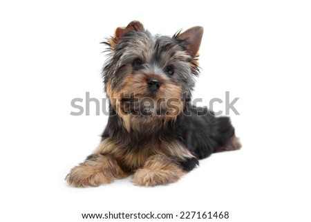 Yorkshire terrier puppy posing in studio