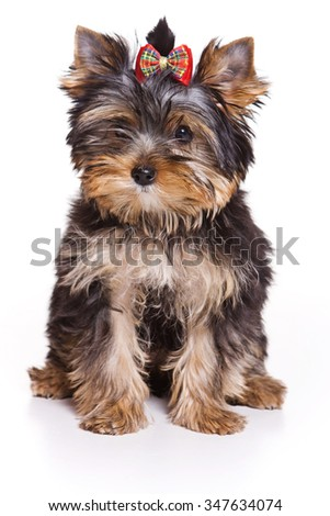 Yorkshire Terrier puppy sitting and looking at the camera (isolated on white) - stock photo