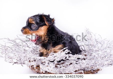 Yorkshire Terrier puppy sitting anw jawning with Christmas snowy wreath and decor, 2 months old, isolated on white. New year dog. - stock photo