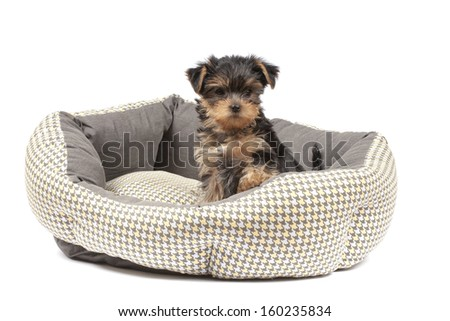Yorkshire Terrier puppy sitting in dog bed - stock photo