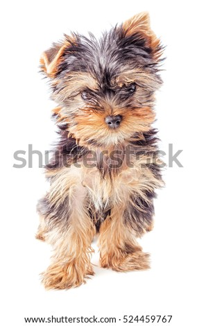Yorkshire Terrier puppy sitting, isolated on white background