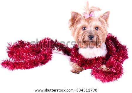 Yorkshire Terrier puppy sitting with Christmas balls and decor, 2 months old, isolated on white. New year dog. - stock photo