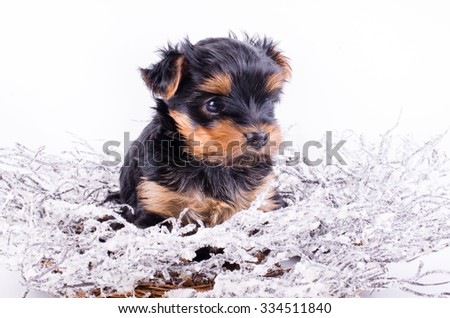 Yorkshire Terrier puppy sitting with Christmas snowy wreath and decor, 2 months old, isolated on white. New year dog. - stock photo