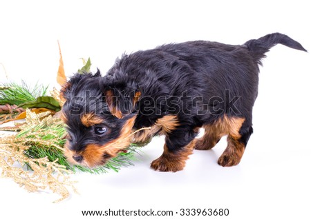 Yorkshire Terrier puppy sitting with Christmas wreath and and playing with decor, 2 months old, isolated on white. New year dog. - stock photo