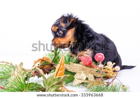 Yorkshire Terrier puppy sitting with Christmas wreath and decor, 2 months old, isolated on white. New year dog. - stock photo