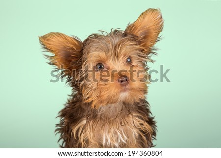 Yorkshire Terrier puppy standing in studio looking inquisitive on green background - stock photo