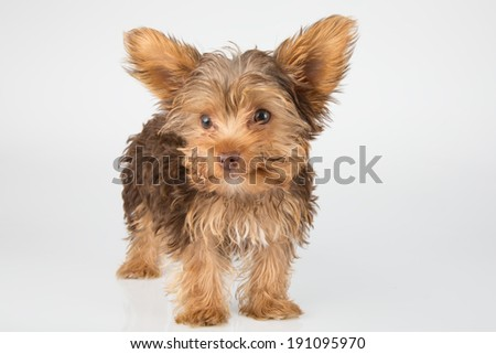 Yorkshire Terrier puppy standing in studio looking inquisitive on white background - stock photo