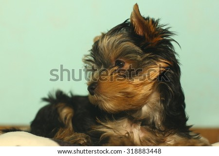 yorkshire terrier puppy the age of 3 month - stock photo