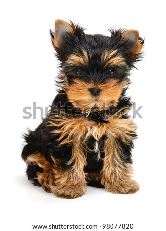 yorkshire terrier puppy the age of 1 month isolated on  white - stock photo