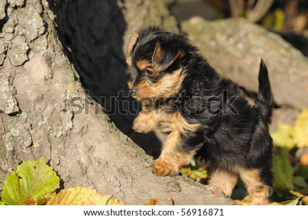 Yorkshire terrier puppy 7 weeks plays in the garden - stock photo