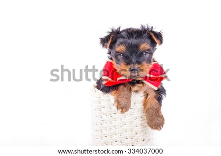 Yorkshire Terrier puppy with red bow-knot sitting in white box isolated on white background, 2 months old. Dog as present, gift - stock photo