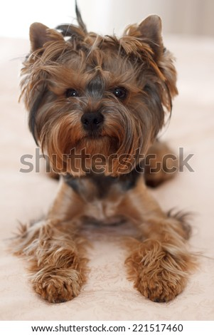 Yorkshire terrier, puppy, young dog. Small dog breed terrier york. Funny puppy terrier with hair on his head.small dog breed terrier york funny puppy. Happy dog. - stock photo