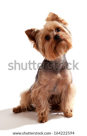 Yorkshire Terrier, sitting and looking at camera against white background - stock photo