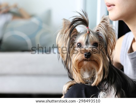 Yorkshire terrier sitting and looking at camera on woman lap
