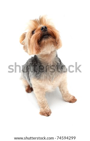 Yorkshire Terrier sitting and looking up - stock photo