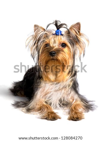 yorkshire terrier sitting on the white background, isolated - stock photo