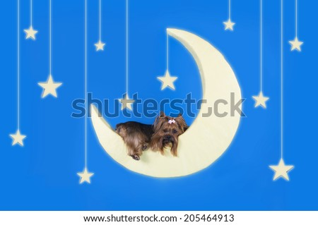 Yorkshire terrier sleeping on the moon