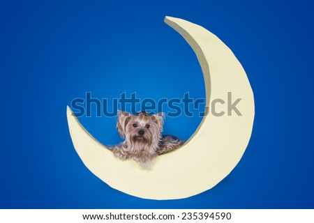 Yorkshire terrier sleeping on the moon - stock photo