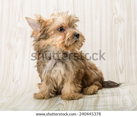 Yorkshire terrier - small dog puppy posing - stock photo