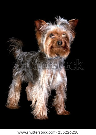 Yorkshire terrier standing on a black background