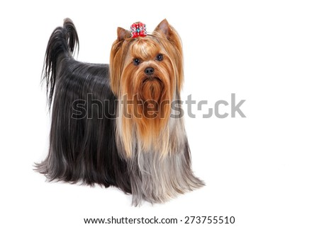 Yorkshire terrier. The best in its breed. - stock photo