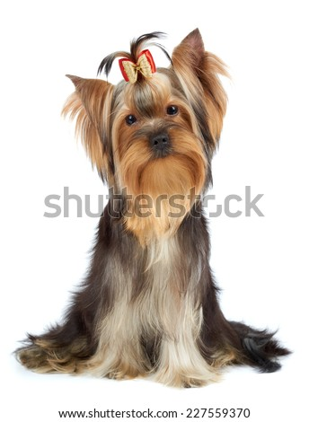Yorkshire Terrier tilted its head to one side - stock photo