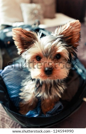 Yorkshire Terrier Travel - stock photo
