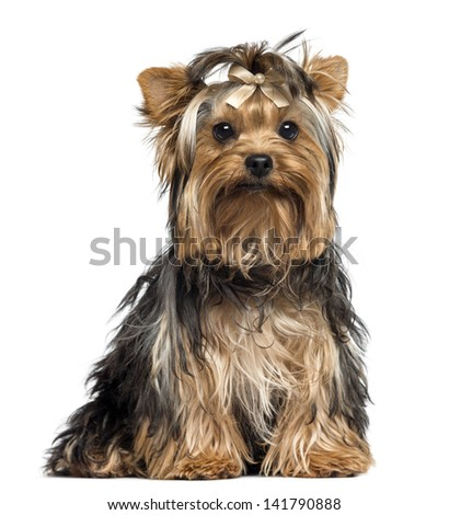 Yorkshire Terrier wearing a bow, sitting, looking at the camera, 7 months old, isolated on white