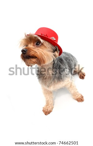 Yorkshire Terrier wearing red hat - stock photo