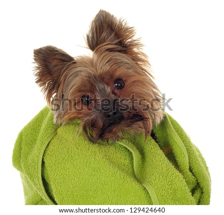 Yorkshire Terrier with green towel, before the bath