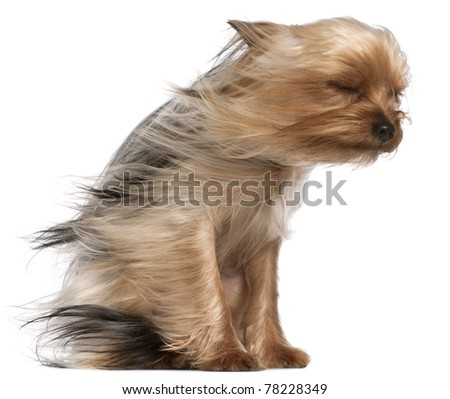 Yorkshire Terrier with hair in the wind, 1 year old, sitting in front of white background - stock photo