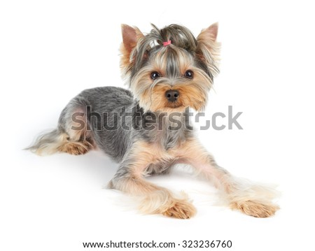 Yorkshire Terrier with short hair lies on white background                               - stock photo
