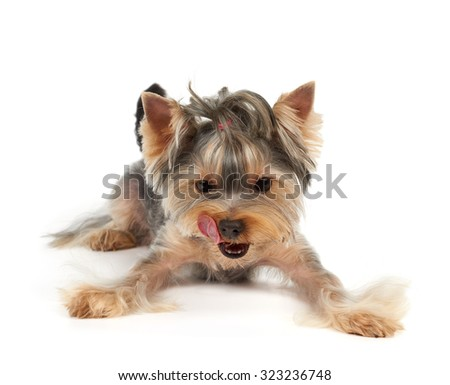 Yorkshire Terrier with short haircut licks. It looks down on on the point where your product can be placed.                               - stock photo