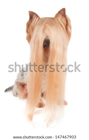 Yorkshire Terrier with very long hair isolated on white