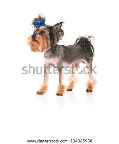 Yorkshire Terrier, 3 years old, isolated on white background