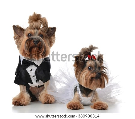 Yorkshire Terriers dressed up for wedding like broom and bride sitting on a white background - stock photo