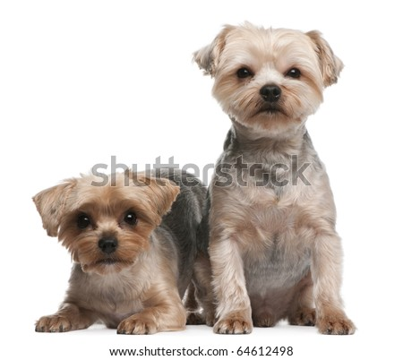 Yorkshire Terriers, 18 months old, sitting in front of white background