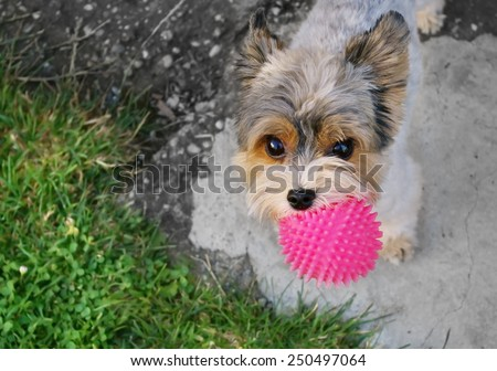 Yorkshire with pink ball - stock photo