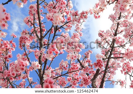 Yoshino cherry Blossoms - stock photo