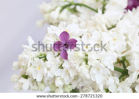 You are special. Purple lilac flower among the branches of white lilac