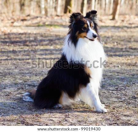 You see a cute and obedient Border Collie. - stock photo