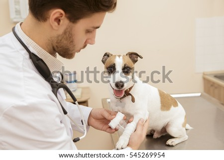 You will be fine, buddy. Shot of a cute jack russel terrier getting his leg fixed and bandaged by a professional vet at the veterinarian clinic pets animals profession service medical industry concept