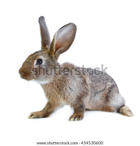 Young adorable european brown rabbit on white background. Cute bunny isolated on white backdrop - stock photo