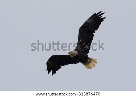 Young adult American Bald Eagle in hunting for a meal over a lake - stock photo